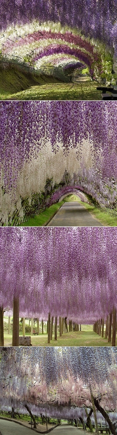 if i had enough space i'd make a tunnel of wisteria <3