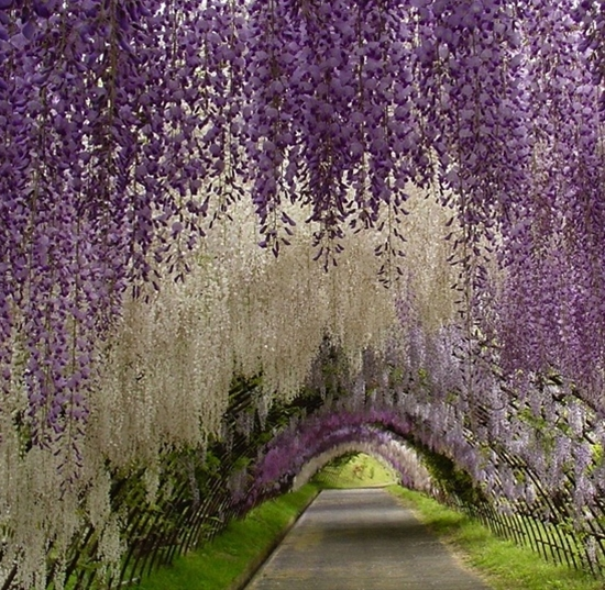 let's escape for a while...    Wisteria Tunnel at Kawachi Fuji Garden, Japan
