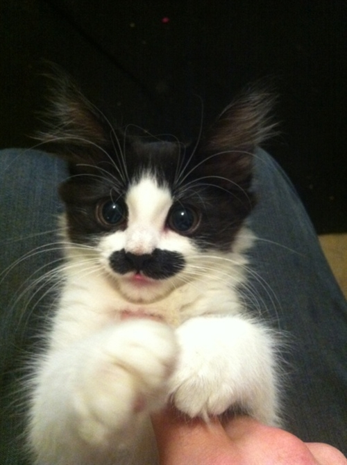 cats with mustaches