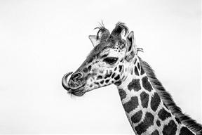 Aug. 23, 2014 - FOTA Safaripark, Cork, IrelandYoung Giraffe by...
