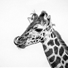 Aug. 23, 2014 - FOTA Safaripark, Cork, IrelandYoung Giraffe by...