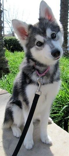 "Alaskan Klee Kai, 18"" tall fully grown. I want one. adorable."