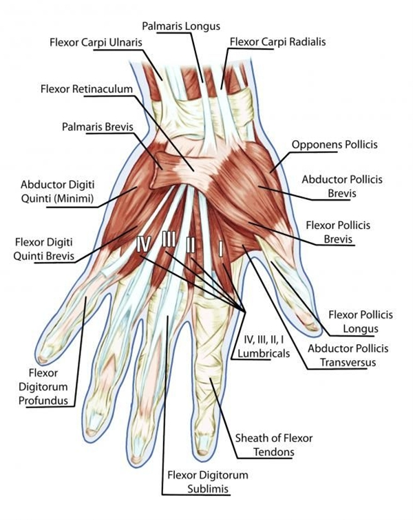 We're going to take a closer look at grip strength - with particular attention to your hand digits (fingers and thumb) and their intrinsic muscles.