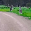 This man who found himself surrounded by kangaroos couldn't remember if kangaroos were dangerous or not.