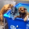 Two smart bulldogs use teamwork to rescue a tire from the pool.