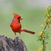 Cardinal by permagrinphoto.tumblr.com