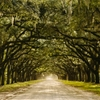 Wormsloe Plantation - a mile-long dirt road covered in a canopy...