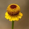 Macro Yellow Flower(Point Reyes, California - 7/2014) by Cam...