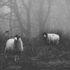 Black and White Sheep by dpcphotography.tumblr.com