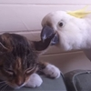 Here's a bunch of persistent birds annoying cats with their friendship.