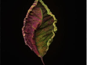 Poinsettia Leaf,after I forgot it on the scanner for a week! by...