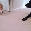 Baby girl crawls for the first time to reach family dog, gets slobbery reward.
