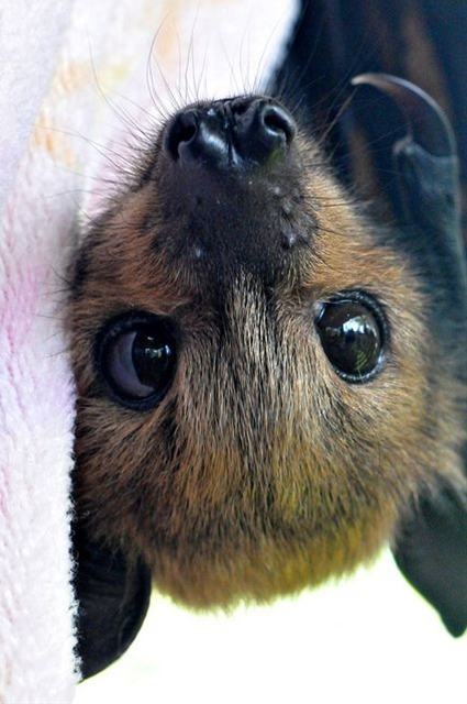 Soooooooooo cute. Remember our fruit bat friend who was happy to see us?  Love bats ever since