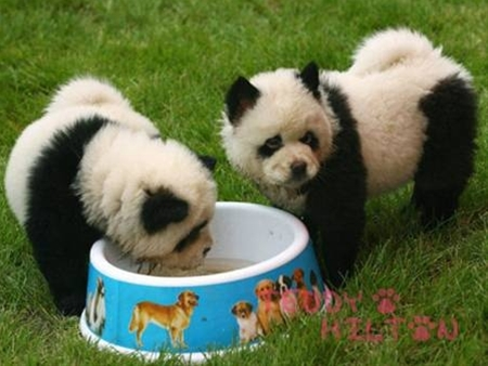 dogs-looking-like-pandas